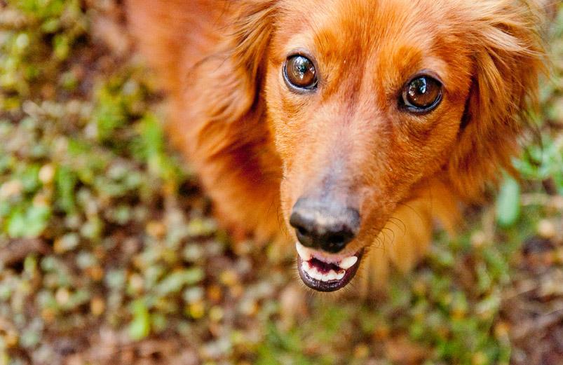 Alabama Pet Photography: Duncan the Dachshund  (4/4)