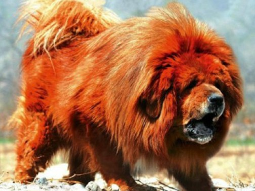 chien dogue