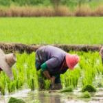 Report of Nigeria topping Africa contradicts FG's claims on local rice production