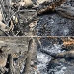 FACT CHECK: Photos of burnt animals in popular tweet aren't from fires in Amazon