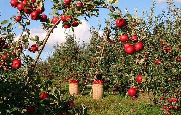 seb-apple-ka-tree