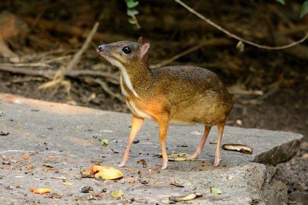chevrotain-mouse-deer-in-hindi