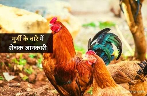 मुर्गी के बारे में 42 रोचक जानकारी – Essay & Information about Hen In Hindi