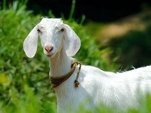 bakri-goat