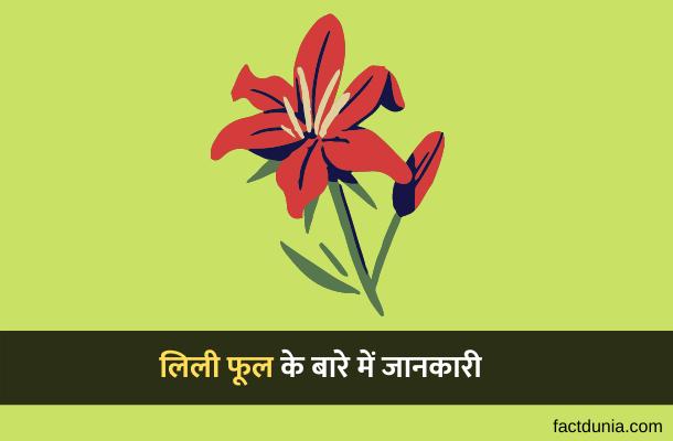 लिली फूल के बारे में रोचक जानकारी – Information about Lily Flower in Hindi