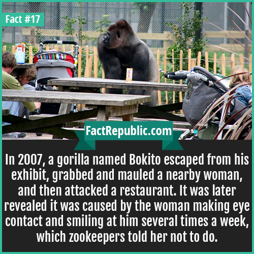 17. Bokito Gorilla-In 2007, a gorilla named Bokito escaped from his exhibit, grabbed and mauled a nearby woman, and then attacked a restaurant. It was later revealed it was caused by the woman making eye contact and smiling at him several times a week, which zookeepers told her not to do.