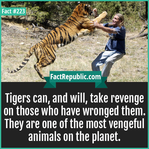 223. tigers revenge-Tigers can, and will, take revenge on those who have wronged them. They are one of the most vengeful animals on the planet.