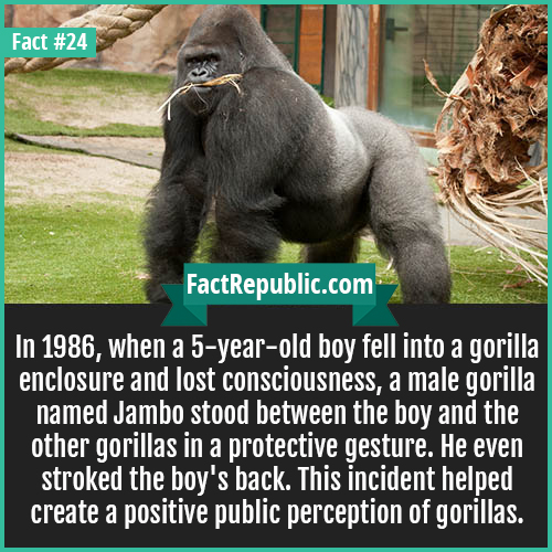 24-jambo-gorilla-In 1986, when a 5-year-old boy fell into a gorilla enclosure and lost consciousness, a male gorilla named Jambo stood between the boy and the other gorillas in a protective gesture. He even stroked the boy's back. This incident helped create a positive public perception of gorillas.
