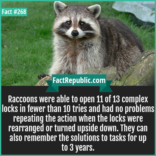 268. Raccoons-Raccoons were able to open 11 of 13 complex locks in fewer than 10 tries and had no problems repeating the action when the locks were rearranged or turned upside down. They can also remember the solutions to tasks for up to 3 years.