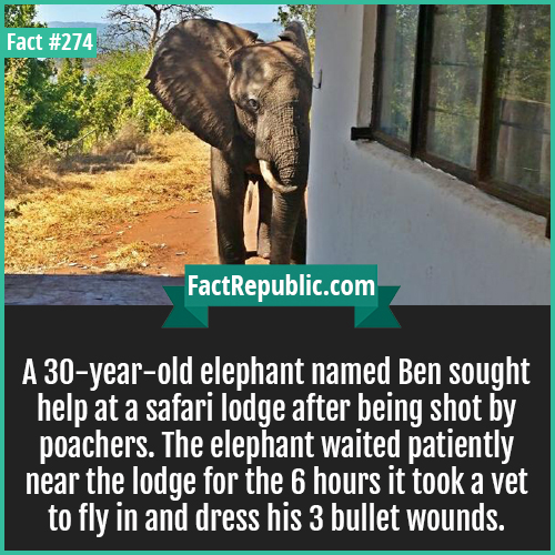 274. Ben sought help-A 30-year-old elephant named Ben sought help at a safari lodge after being shot by poachers. The elephant waited patiently near the lodge for the 6 hours it took to a vet to fly in and dress his 3 bullet wounds.