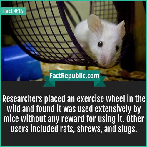 35-exercise-wheel-Researchers placed an exercise wheel in the wild and found it was used extensively by mice without any reward for using it. Other users included rats, shrews, and slugs.