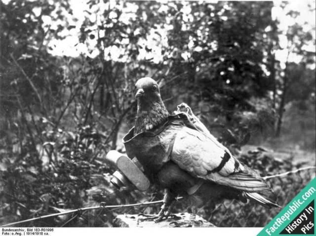 39-reconnaissance-pigeon