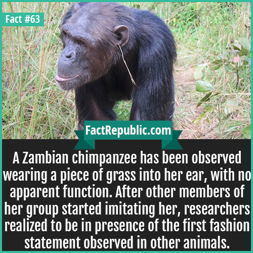 63. Chimpanzee Fashion-A Zambian chimpanzee has been observed wearing a piece of grass into her ear, with no apparent function. After other members of her group started imitating her, researchers realized to be in presence of the first fashion statement observed in other animals.