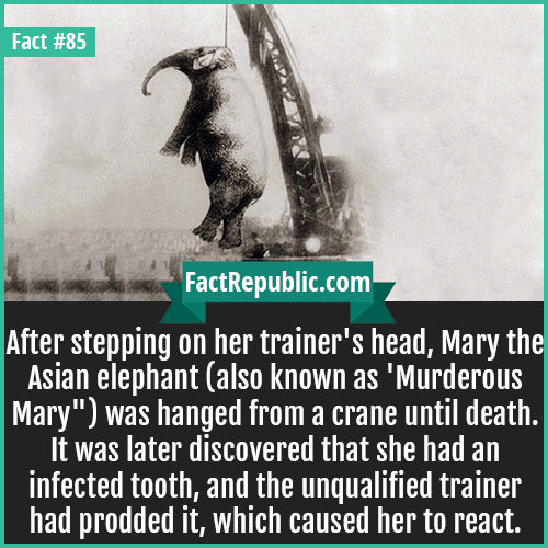 85. Murderous Mary-After stepping on her trainer's head, Mary the Asian elephant (also known as 'Murderous Mary