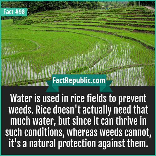 98. Rice fields-Water is used in rice fields to prevent weeds. Rice doesn't actually need that much water, but since it can thrive in such conditions, whereas weeds cannot, it's a natural protection against them.
