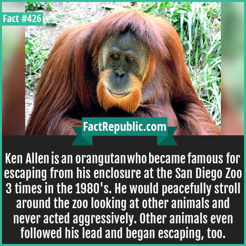 426-Ken allen orangutan-Ken Allen is an orangutan who became famous for escaping from his enclosure at the San Diego Zoo 3 times in the 1980's. He would peacefully stroll around the zoo looking at other animals and never acted aggressively. Other animals even followed his lead and began escaping, too.