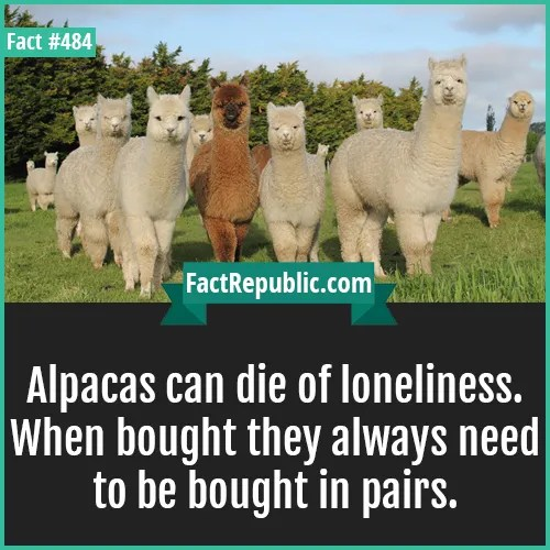 484. Alpacas-Alpacas can die of loneliness. When bought they always need to be bought in pairs.