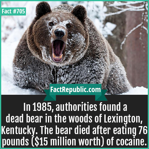 705. Coccaine Bear 1-In 1985, authorities found a dead bear in the woods of Lexington, Kentucky. The bear died after eating 76 pounds ($15 million worth) of cocaine.