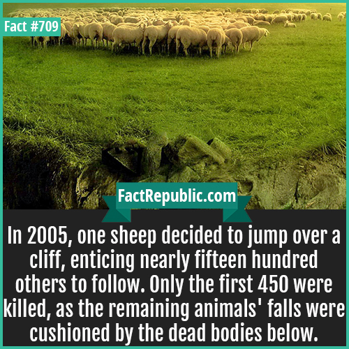 709. Sheep off cliff-In 2005, one sheep decided to jump over a cliff, enticing nearly fifteen hundred others to follow. Only the first 450 were killed, as the remaining animals' falls were cushioned by the dead bodies below.