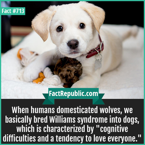 713. Dogs WIlliams Syndrome-When humans domesticated wolves, we basically bred Williams syndrome into dogs, which is characterized by 'cognitive difficulties and a tendency to love everyone.'