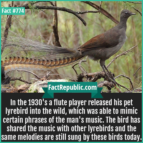 774. Lyrebird-In the 1930's a flute player released his pet lyrebird into the wild, which was able to mimic certain phrases of the man's music. The bird has shared the music with other lyrebirds and the same melodies are still sung by these birds today.