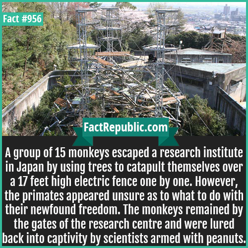 956. Kyoto University Monkey Escape-A group of 15 monkeys escaped a research institute in Japan by using trees to catapult themselves over a 17 feet high electric fence one by one. However, the primates appeared unsure as to what to do with their newfound freedom. The monkeys remained by the gates of the research centre and were lured back into captivity by scientists armed with peanuts.