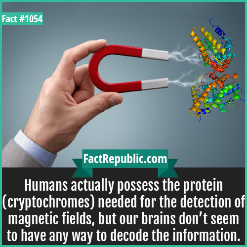 1054. Magnetic Protein-Humans actually possess the protein (cryptochromes) needed for the detection of magnetic fields, but our brains don't seem to have any way to decode the information.
