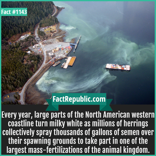 1143. Herring Coastline Scum-Every year, large parts of the North American western coastline turn milky white as millions of herrings collectively spray thousands of gallons of semen over their spawning grounds to take part in one of the largest mass-fertilizations of the animal kingdom.