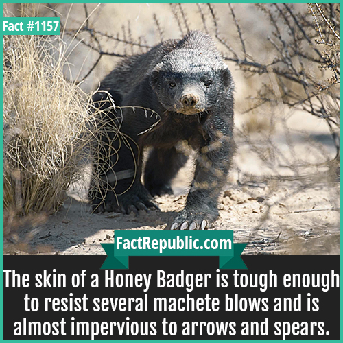 1157. Honey Badger-The skin of a Honey Badger is tough enough to resist several machete blows and is almost impervious to arrows and spears.