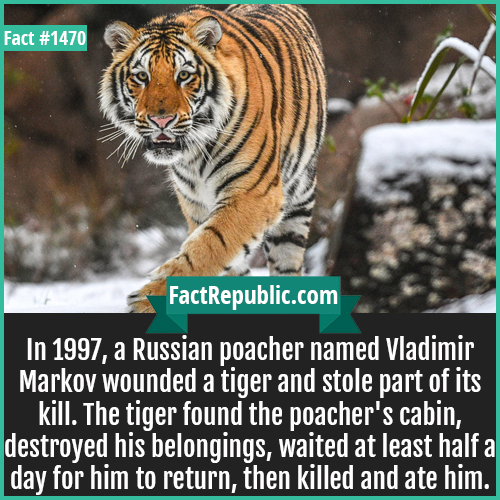1470. Killer Tiger-In 1997, a Russian poacher named Vladimir Markov wounded a tiger and stole part of its kill. The tiger found the poacher's cabin, destroyed his belongings, waited at least half a day for him to return, then killed and ate him.