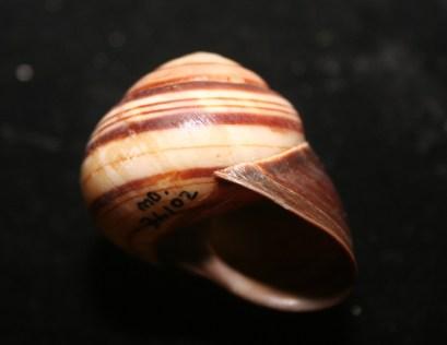 Denham Range Banded Snail