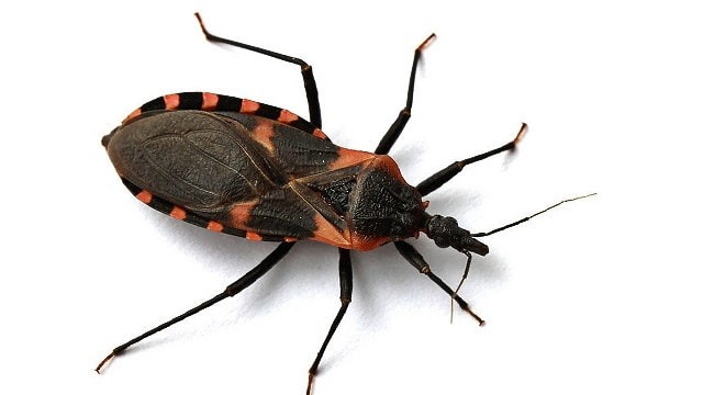 The Kissing Bug