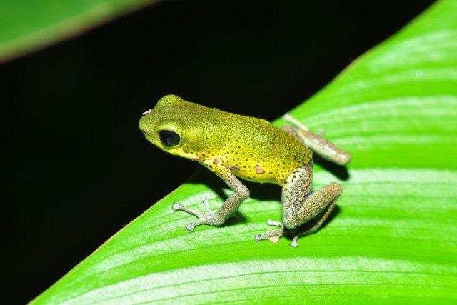Küçük zehirli ok kurbağası veya çilek zehirli kurbağa