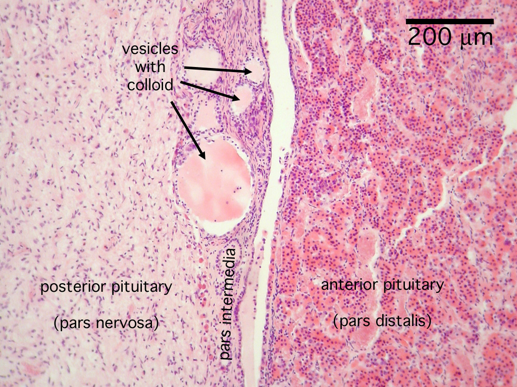 Histology Endocrine System Pituitary Gland