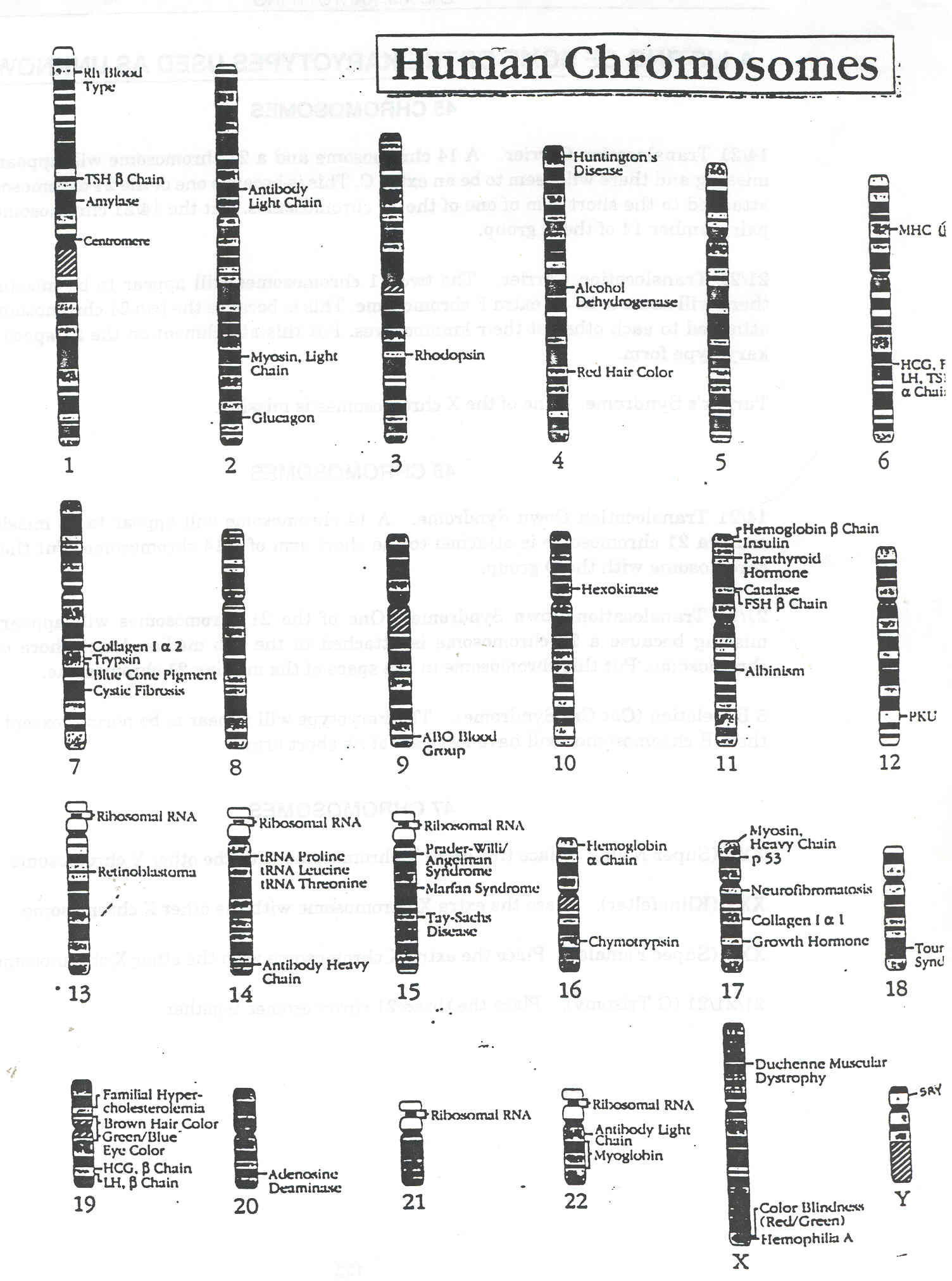 Human Karyotype Worksheet