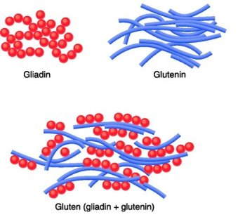gluten protein