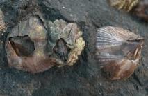 balanus amphitrirte