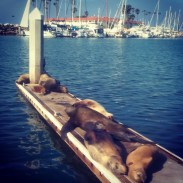 Sea lions basking on a small dock in Oceanside. We accidentally detoured here, but they were a cute find.