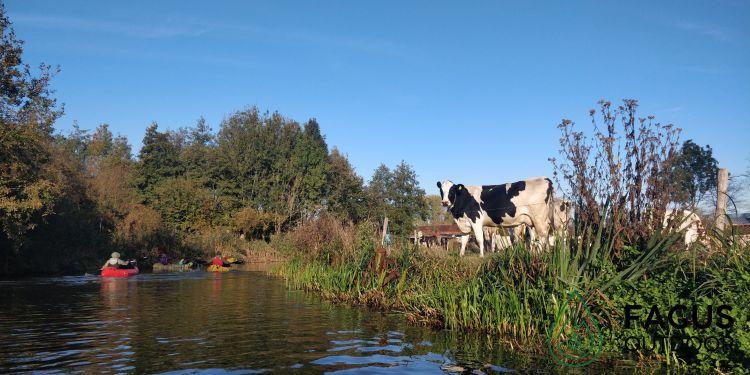 Koeien kijken toe hoe de packrafters voorbij glijden tijdens hun microavontuur