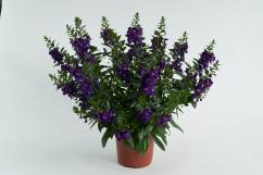 Angelonia Alonia Big Blue