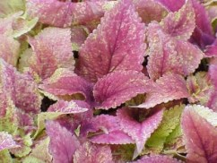 Coleus Alabama