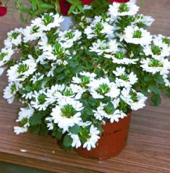 Scaevola Top Pot White