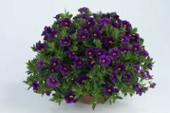Calibrachoa NOA Deep Purple