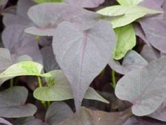 Sweet Potato Vine Ace of Spades
