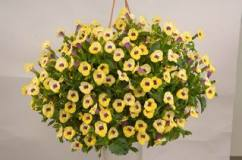 Torenia Yellow Moon