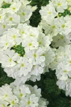 Verbena Estrella White Improved