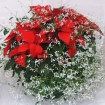 SNOW POINSETTIA (Poinsettia with Euphorbia)