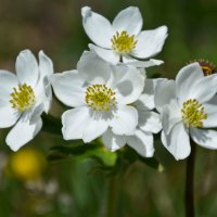 Alpsippa - Anemone alpina