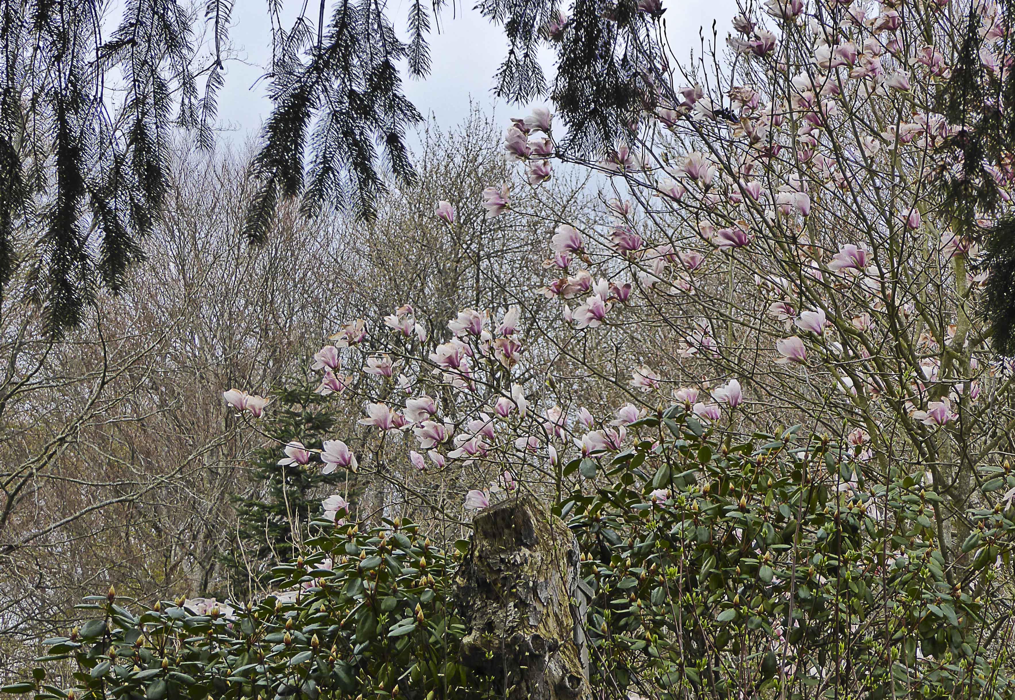 Forest Magnolia