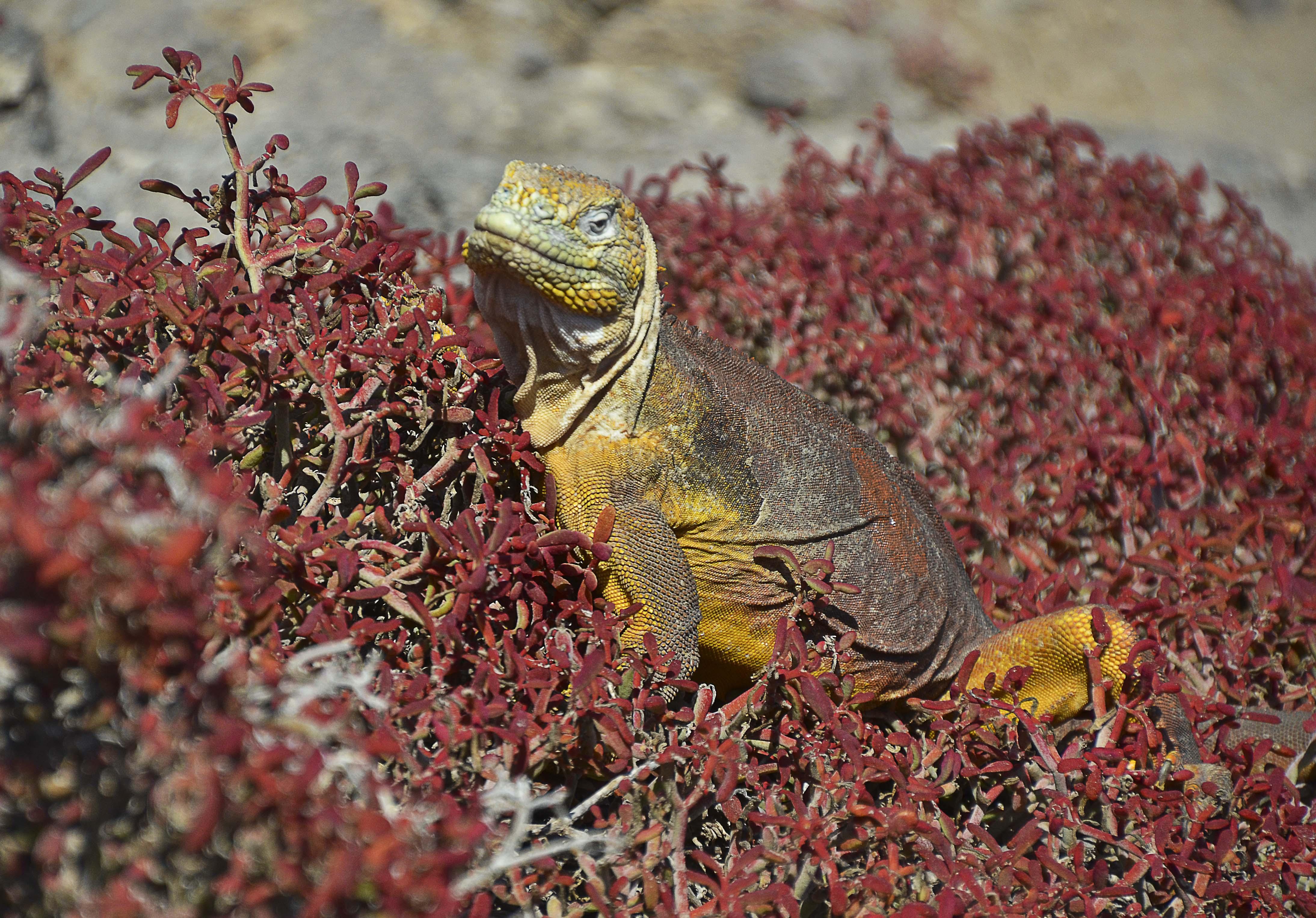 Land Iguana – Galápagos